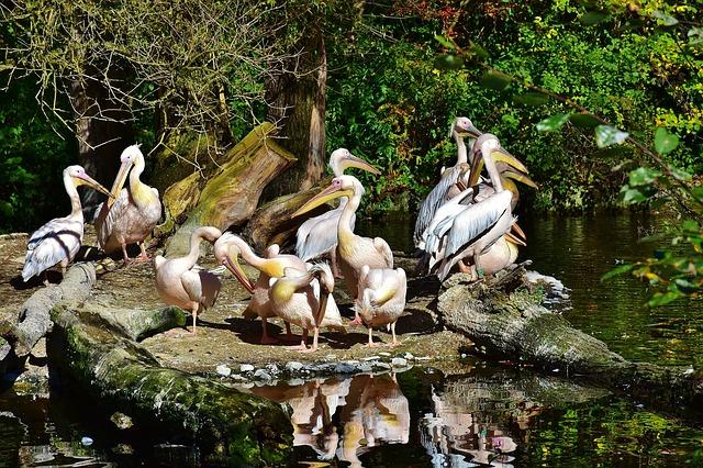 Im Zoo unterwegs: Pelikane
